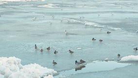 Birds ducks on the ice river. stock footage