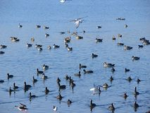 Birds and Ducks at Randarda Lake, Rajkot, Gujarat. Randarda lake, Rajkot, Gujarat, India is known for resident and migrant birds and ducks... This is a Stock Images