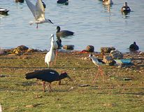 Birds and Ducks at Randarda Lake. Randarda lake, Rajkot, Gujarat, India is known for resident and migrant birds and ducks... A red-naped ibis is seen in the Royalty Free Stock Images