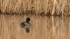 Tufted duck, aythya fuligula. Birds - ducks - tufted duck, aythya fuligula stock video footage