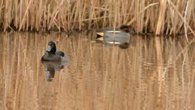 Tufted Duck, Aythya fuligula. Birds - Ducks - Tufted Duck, Aythya fuligula stock video