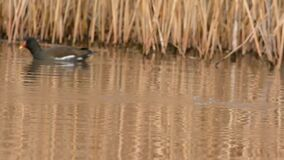 Tufted Duck, Aythya fuligula. Birds - Ducks - Tufted Duck, Aythya fuligula stock footage