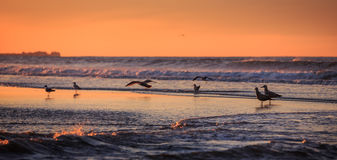 Birds early morning on the oceanfront. Atlantic Ocean coastline near New York in the area of Rockaway Park Stock Images