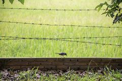 Birds eat worms on the brick wall with barbed wire Background blurry rice paddy field royalty free stock image