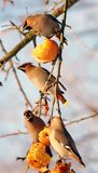 Birds eating apples royalty free stock image