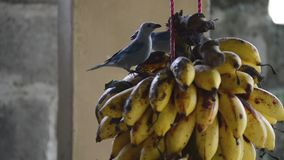 Birds eating banana. Video of birds eating banana stock video