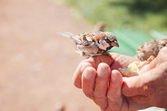 Birds eating bread over hand of old man in a park. Royalty Free Stock Photos