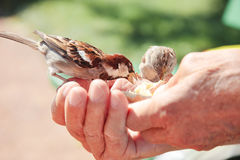 Birds eating bread over hand of old man in a park. stock photos