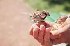 Birds eating bread over hand of old man in a park. royalty free stock image