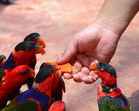 Birds eating fruit from hand. Many birds eating fruit from hand Royalty Free Stock Photo