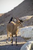 Birds eating parasites from Ibex. Ein Gedi, Dead Sea, Israel Royalty Free Stock Image