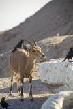 Birds eating parasites from Ibex. Ein Gedi, Dead Sea, Israel Stock Images