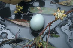 Birds eggs on ground litter. Birds egg amoungst ground litter Royalty Free Stock Photo