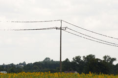 Birds on Electric Cable Royalty Free Stock Image