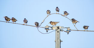 Birds on the electric cable Stock Photography