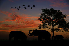 Birds elephants at sunset. Birds flying at sunset elephant back home Royalty Free Stock Photo