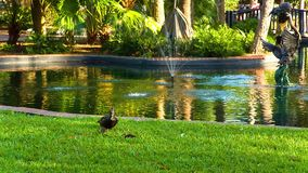 Birds in the Eola lake and park. Birds on the Eola lake, Eola park, Orlando, Florida USA stock video footage