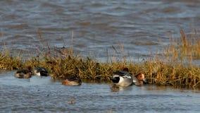 Eurasian Wigeon, Wigeon, Duck, Anas Penelope stock video