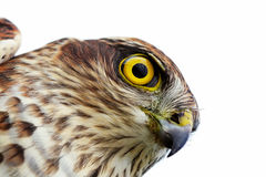 Birds of Europe - Sparrow-hawk Royalty Free Stock Photos