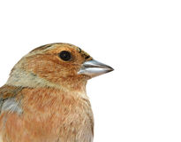 Birds of Europe and World - Chaffinch Stock Photos