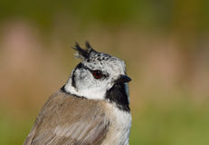 Birds of Europe and World - Crested Tit Royalty Free Stock Images