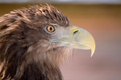 Birds of Europe and World - Erne. The portrait of the erne Stock Photos