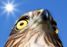 Birds of Europe and World - Sparrow-hawk Stock Photography