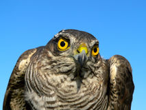 Birds of Europe and World - Sparrow-hawk Royalty Free Stock Image