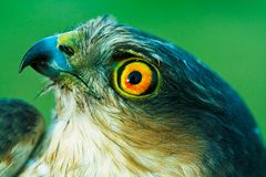 Birds of Europe and World - Sparrow-hawk Royalty Free Stock Photography