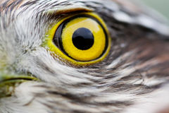 Birds of Europe and World - Sparrow-hawk Royalty Free Stock Photos