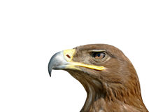 Birds of Europe and World - Steppe Eagle Stock Photos