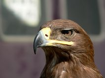 Birds of Europe and World - Steppe Eagle Royalty Free Stock Images