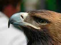 Birds of Europe and World - Steppe Eagle Royalty Free Stock Image