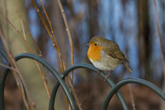 Birds - European Robin Royalty Free Stock Photography
