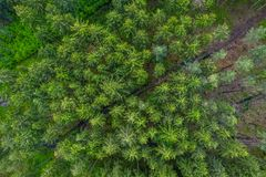 Birds eye view from the drone to a empty road through the forest with high trees. stock photo
