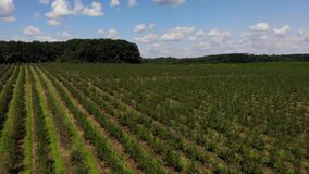 Birds eye view of green orchard, zoom in. Rows of apple trees. Farmland. Themes of agro-industrial business and gardening