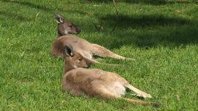 Two kangaroos on grass stock video