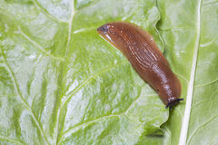 Birds eye view of slug on green leaves Stock Photo