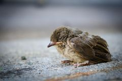 Birds fall from the nest. Bird, baby bird, squab, animal, animal theme, wildlife, nature, closeup, hungry, outdoor, blur background, sleep, portrait, young, sit stock image