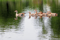 Birds, Family of Geese Royalty Free Stock Photo