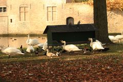 White swans near the manger on the farm stock images