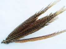 Birds feather Royalty Free Stock Image