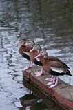 Black-Bellied Whistling Ducks Royalty Free Stock Photos