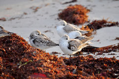 Birds of  a Feather... Beautiful white birds contrasting wonderfully against reddish algae from the sea Stock Photos