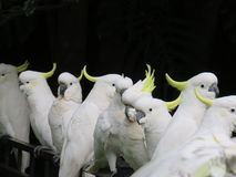 Birds of a feather... Several sulphur-crested cockatoos have taken up residence on a fence, wondering when their next handout of crusts will come Stock Image