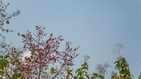 Birds feed on red cotton trees flowers. With the cloud moving in the background stock footage