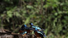 Birds at the Feeder, Superb Starling, African Grey Hornbill, Group in flight, Tsavo Park in Kenya. Slow Motion stock video footage