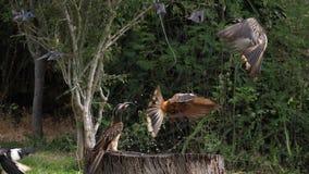 Birds at the Feeder, Superb Starling, African Grey Hornbill, Group in flight, Tsavo Park in Kenya,. Slow Motion stock video