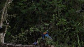 Birds at the Feeder, Superb Starling, Group in flight, Tsavo Park in Kenya,. Slow Motion stock video footage