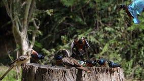Birds at the Feeder, Superb Starling, Red-billed Hornbill, African Grey Hornbill, Group in flight, Tsavo Park in Kenya,. Slow Motion stock video footage
